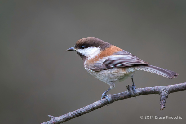 Side Profile Of A Chestnut-backed Chickadee by BruceFinocchio