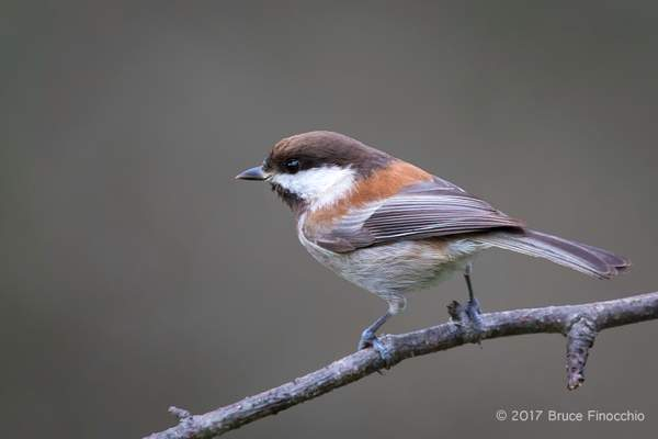 Side Profile Of A Chestnut-backed Chickadee