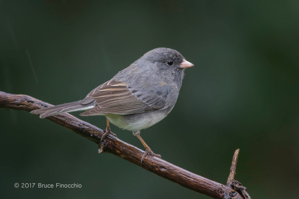Dark-eyed Junco, Slate Colored Variant In The...
