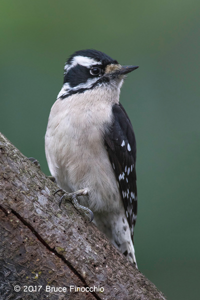 Female Downy Woodpecker Alert Yet Relaxed by BruceFinocchio