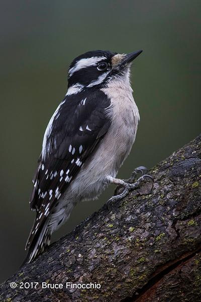 Female Downy Woodpecker On A Spilt Tree Branch by BruceFinocchio