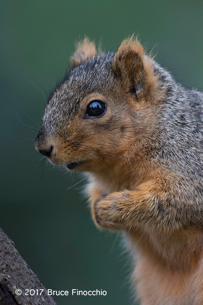 An Apprehensive Fox Squirrel by BruceFinocchio