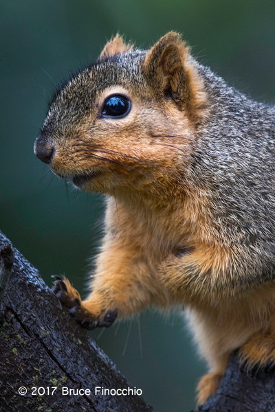 Fox Squirrel In The Middle Of Two Branches by BruceFinocchio