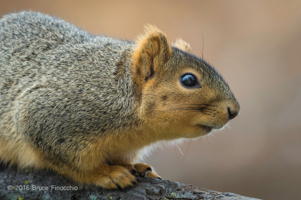 Fox Squirrel Watches Intently From A Branch Perch by BruceFinocchio