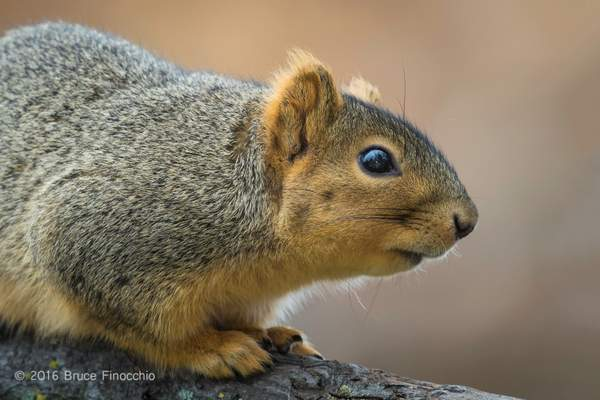 Fox Squirrel Watches Intently From A Branch Perch