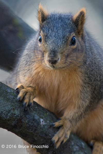 Fox Squirrel Within The Tree Branches