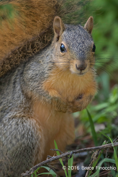 Red Tree Squirrel Portrait In The Grass by BruceFinocchio