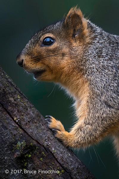 Portrait Of A Fox Squirrel by BruceFinocchio