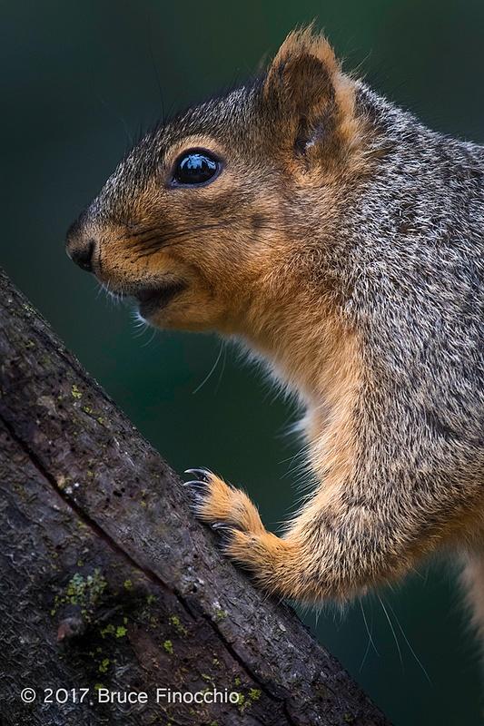 Portrait Of A Fox Squirrel