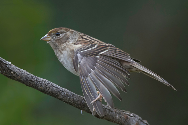Golden-crowned Sparrow Stretches Wing Feathers by BruceFinocchio