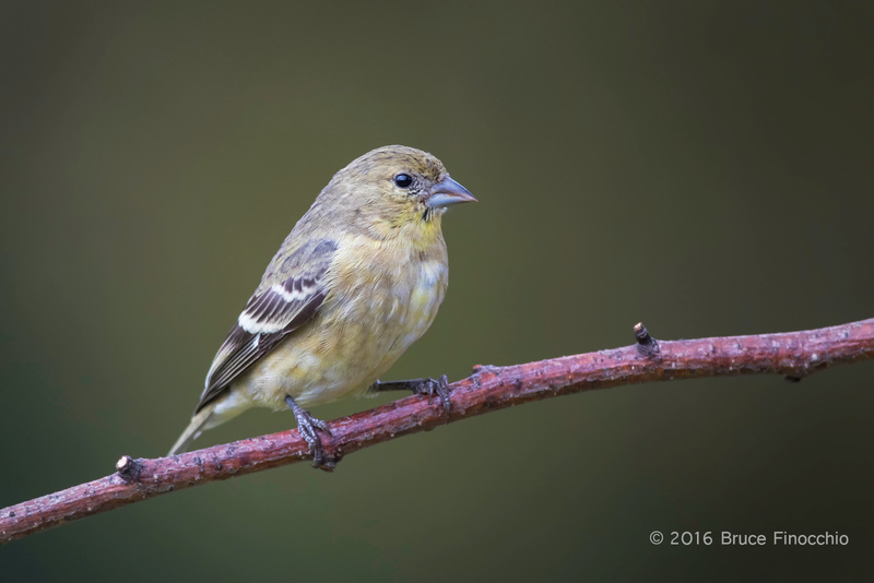 Female Lesser Goldfinch On Red Branch Perch