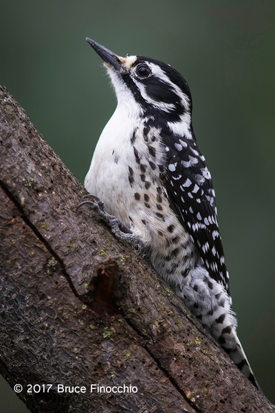 Alert And Watchful Female Nuttall's Woodpecker by BruceFinocchio