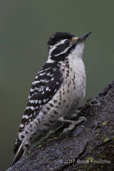 An Alert Female Nuttall's Woodpecker On A Tree Trunk