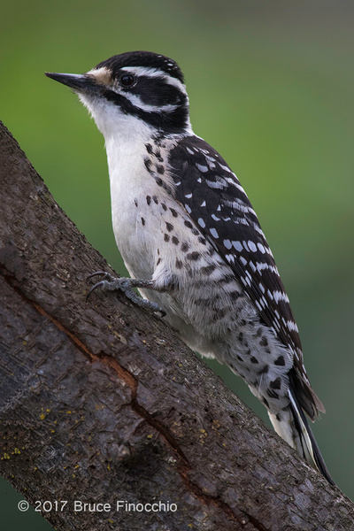 Female Nuttall's Woodpecker Perched On A Tree Trunk_BH11934D7IIc by BruceFinocchio