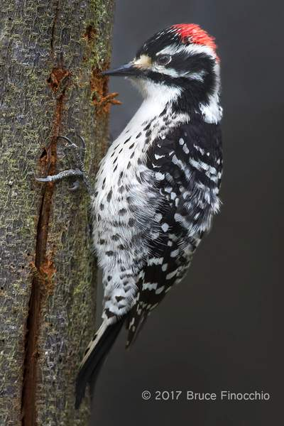 Male Nuttall's Woodpecker Chipping Bark