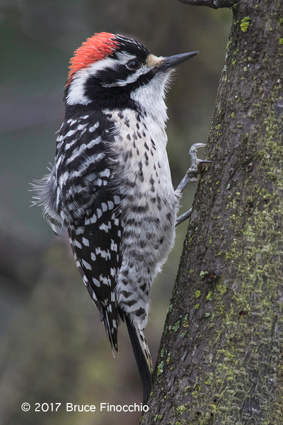 Male Nuttall's Woodpecker Ruffles Feathers by BruceFinocchio
