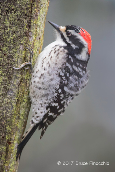 Nuttall's Woodpecker Perched On Side Of Tree Trunk by BruceFinocchio