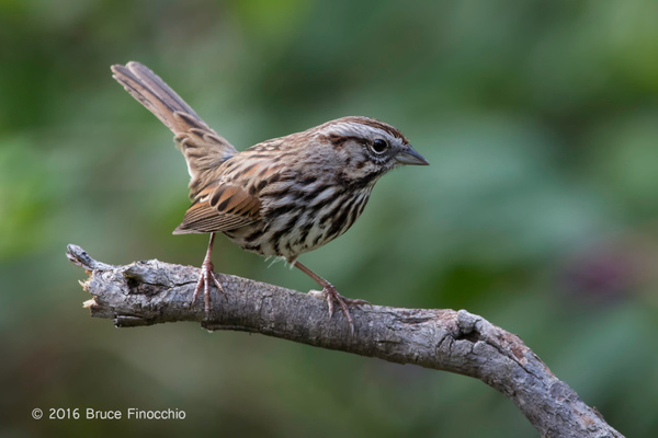 Song Sparrow Perches On A Broken Old Branch by...