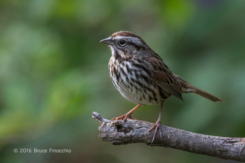 Song Sparrow Lit On A Broken Branch