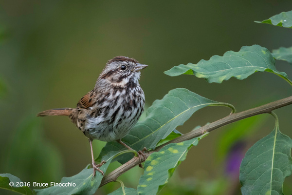 Song Sparrow Watches From The Nightshade Greenery by BruceFinocchio