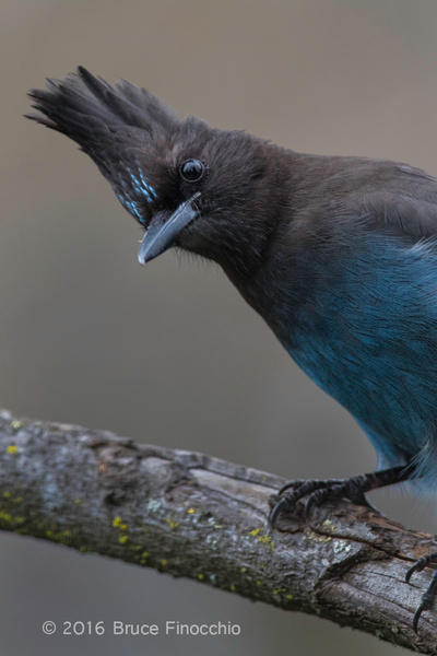 The Inquiring Look Of A Steller's Jay by BruceFinocchio