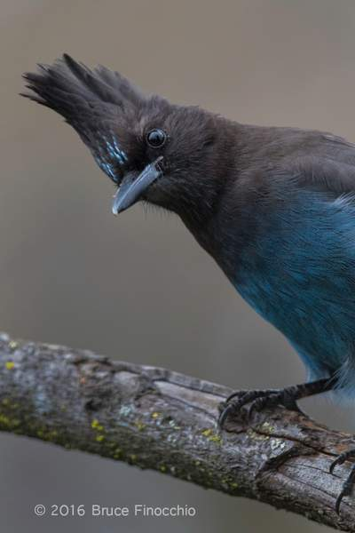 The Inquiring Look Of A Steller's Jay