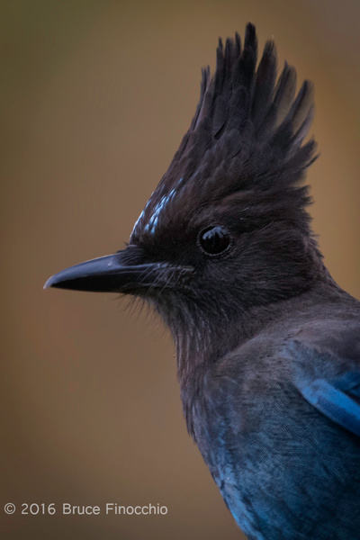 Head and Crest Portrait of A Stellar's Jay by BruceFinocchio