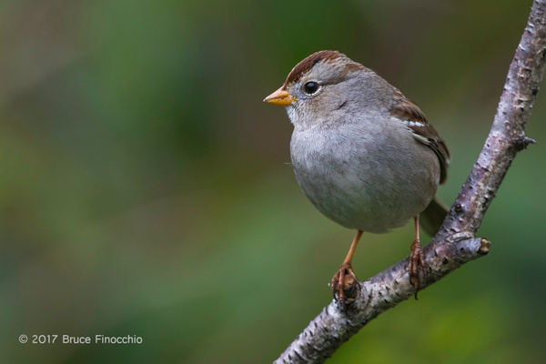 Portrait of A Perched Juvenile White-crowned Sparrow by BruceFinocchio