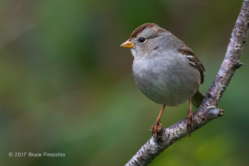 Portrait of A Perched Juvenile White-crowned Sparrow