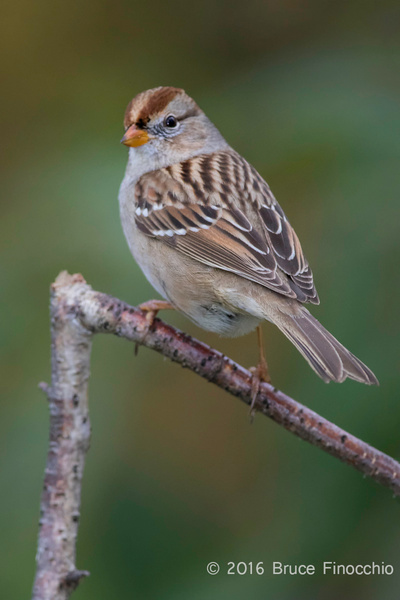 Side Profile Of A Perched Juvenile White-crowned Sparrow_BG24947D7IIc by BruceFinocchio