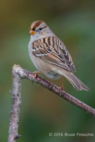 Side Profile Of A Perched Juvenile White-crowned Sparrow_BG24947D7IIc