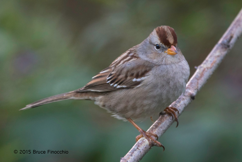 Perched Juvenile White-crowned Sparrow