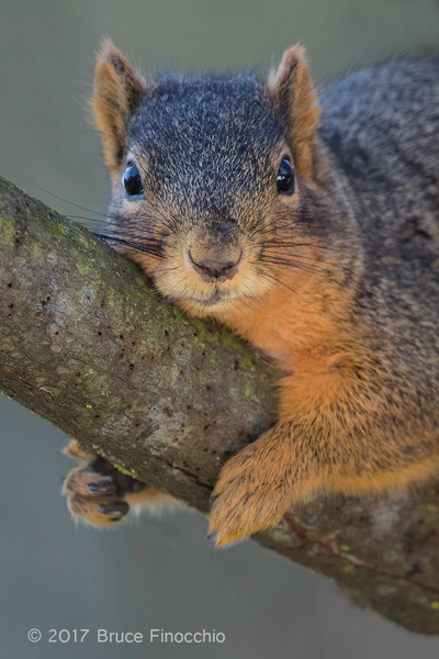 Fox Squirrel Stares Back by BruceFinocchio