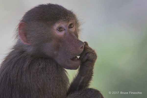 Young Hamadryas Baboon by BruceFinocchio