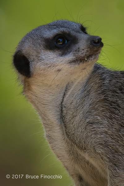 Short-tailed Meerkat Looks Skyward_BH50905D7IIc