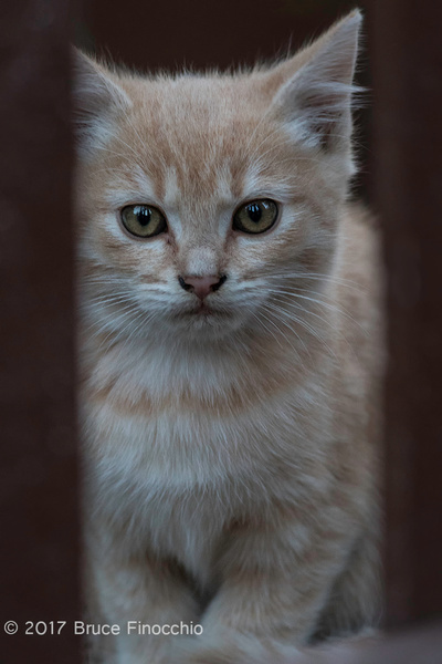 Sandy, The Kitten Peers Through Some Fence Slats by BruceFinocchio