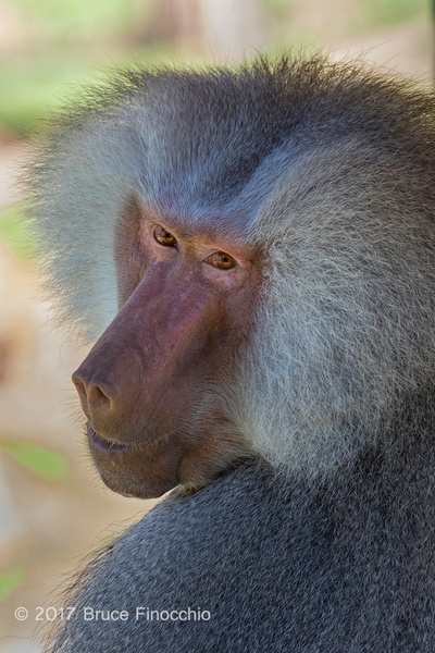 Male Hamadryas Baboon Looks Over His Shoulder by BruceFinocchio