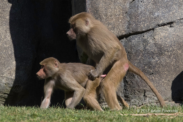 A Sub-Adult Male Hamadryas Baboon Sneaks In Some Mating...