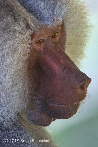 Face and Snout Of A Mature Male Hamadryas Baboon by BruceFinocchio