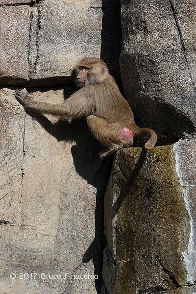 Hamadryas Baboon Climbs Cliff Wall by BruceFinocchio