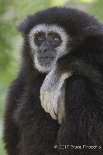 A Thoughtful Male White-handed Gibbon by BruceFinocchio