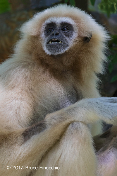 Female White-handed Gibbon Reacts by BruceFinocchio
