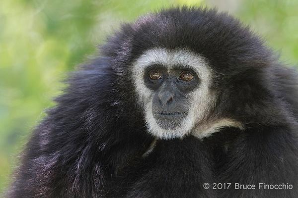 Male White-handed Gibbon Portrait by BruceFinocchio