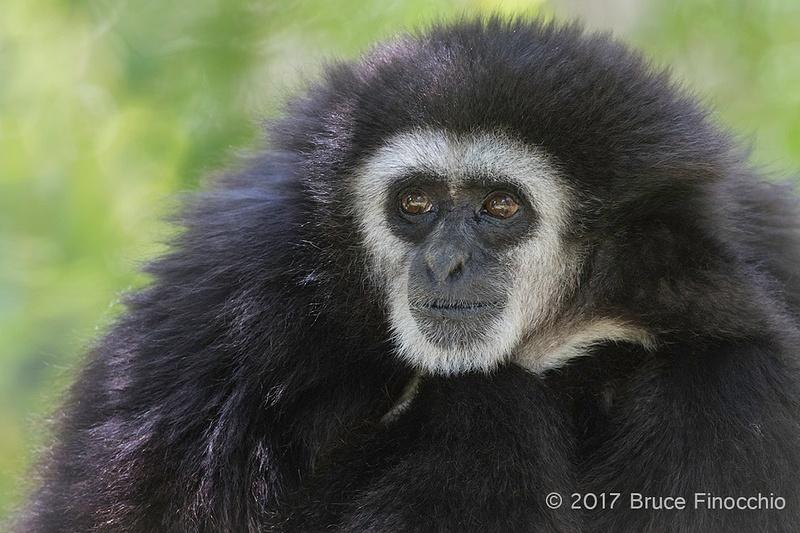 Male White-handed Gibbon Portrait