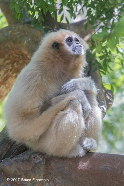 Female White-handed Gibbon In Deep Thought by...
