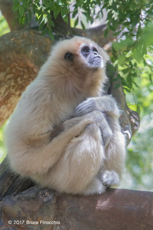 Female White-handed Gibbon In Deep Thought