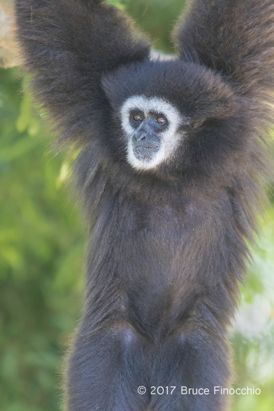 Male White-handed Gibbon Hangs From A Tree Branch by...