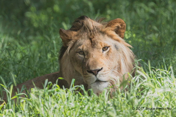Male Lion Lying Down In The Green Grass by BruceFinocchio