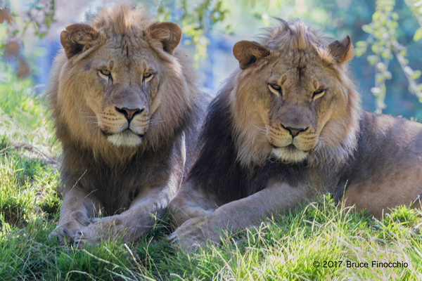 Two Young Male Lion Share A Moment Together by BruceFinocchio