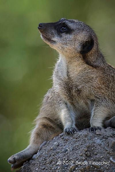 Short-tailed Meerkat Looks Skyward by BruceFinocchio